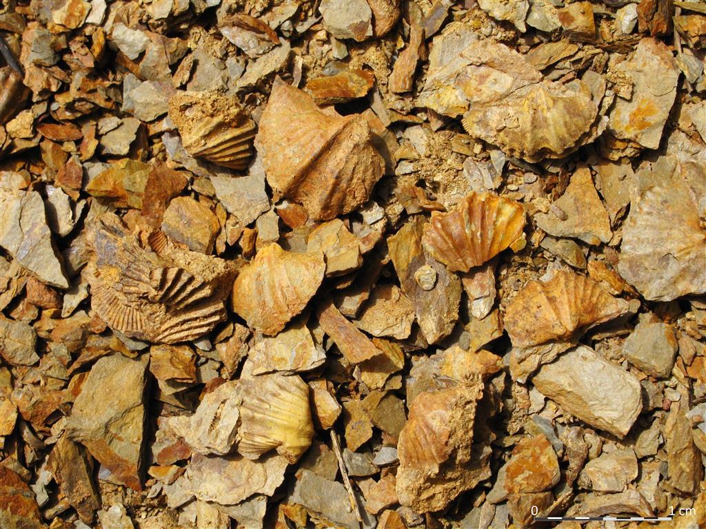 Las areniscas de la Formación Nocedo contienen niveles muy ricos en moldes de braquiópodos. En la fotografía se observan varios ejemplares, en su mayoría pertenecientes al orden Spiriferida.