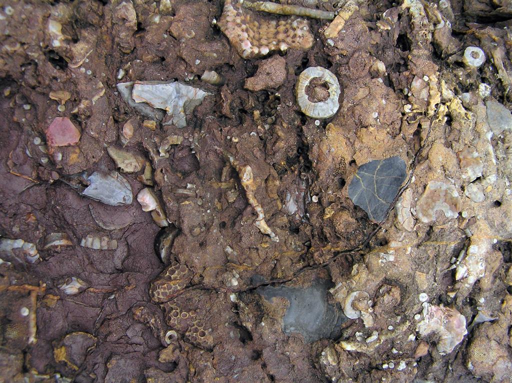 Niveles de la Unidad de margas rojas y verdes (C-CA003-01) donde la turbidez continua del medio da un contenido de lutitas en la roca comprendido entre el 40 y 60%; estos niveles están caracterizados por la asociación de Trybliocrinus flatheanus y Anathyris phalaena  (F-CA003-11). Como ocurre en diferentes puntos de toda la Unidad de margas rojas y verdes, esporádicamente aparecen algunos grandes bivalvos con conchas de color negro como los que se ven en la foto