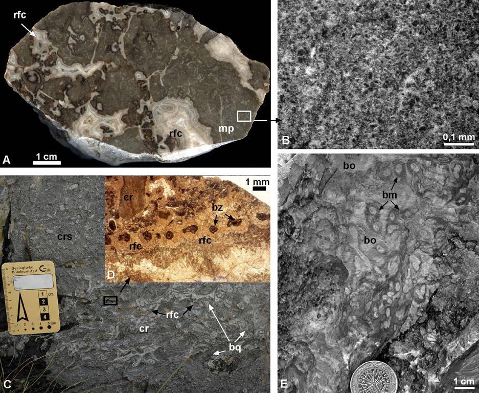 Calizas microbiales del talud superior (Bahamonde et al., 2008). A) Caliza bioconstruida formada por micrita peloidal (mp), foraminíferos y poros primarios (estromatactoideas) con cortezas isópacas de cemento fibroso-radiaxial (rfc). B) Lámina delgada de micrita peloidal. C) Fotografía de campo de caliza encrinítica (cr, crinoideos) con un intervalo de braquiópodos (br) y briozoos bordeados por cortezas de cemento marino (parte más alta del talud). D) Lámina delgada del recuadro señalado en C, mostrando un corte transversal de un briozoo fenestélido (br) con cemento marino (rfc) y crinoideo (cr). E) Fotografía de campo de una caliza bioconstruida, con biomóldes (bm) indeterminados bordeados por cortezas de micrita densa oscura y cemento botroidal (zonas blancas).