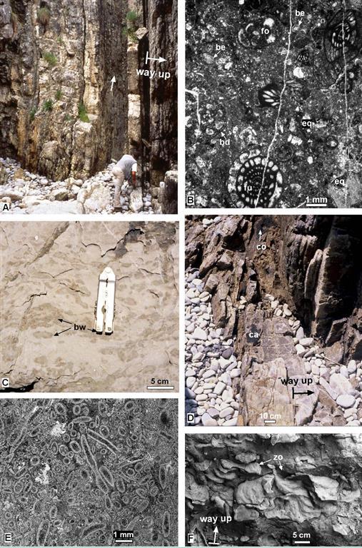 Depósitos de plataforma somera (Bahamonde et al., 2008). A) Biomicritas nodulosas con interestratos margosos y una intercalación siliciclastica (flecha blanca). B) Lámina delgada de una biomicrita con fauna marina: (fu) fusulínido, (cr) equinodermo, (fo) foraminífero indiferenciado, (bd) Bradyina, (ad) alga dasicladácea. C) Fotografía de campo de calizas packstone esqueléticas bioturbadas. (bw, burrows).  D) Arenisca cuarcítica con estratificación cruzada en surco (paleocanal, ca) en una intercalación siliciclástica en el techo de la plataforma (edad Podolskiense). E) Fotografía de lupa binocular de una caliza formada por algas dasicladáceas (Beresella) y foraminíferos (fo) disperso. F) Intercalaciones margosas con intensa bioturbación (icnogénero Zoophycoos) en la parte superior de la sucesión.