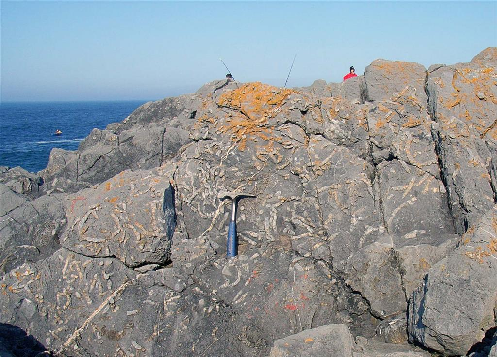 Niveles con gran cantidad de corales rugosos ramificados del género Synaptophyllum, que forman biostromos en la parte media arrecifal de la Fm. Moniello, en su estrato-tipo.