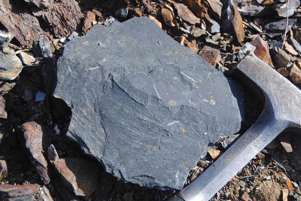 Detalle de los graptolitos que aparecen en este nivel de la sucesión