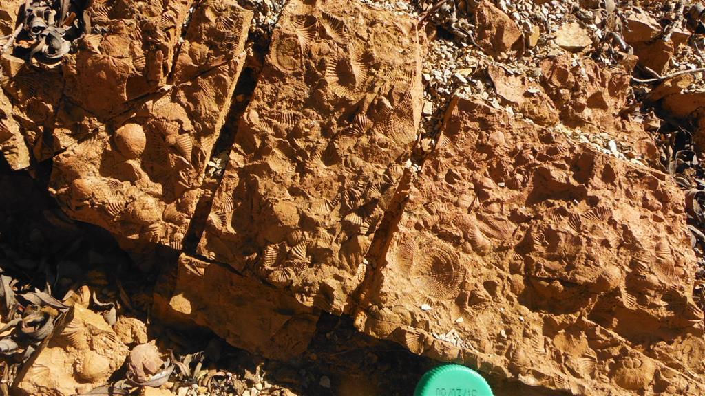 Lumaquelas de braquiópodos y otros fósiles de la parte alta de la Fm. Tres Mojones (Biozona de P. muelleri?)