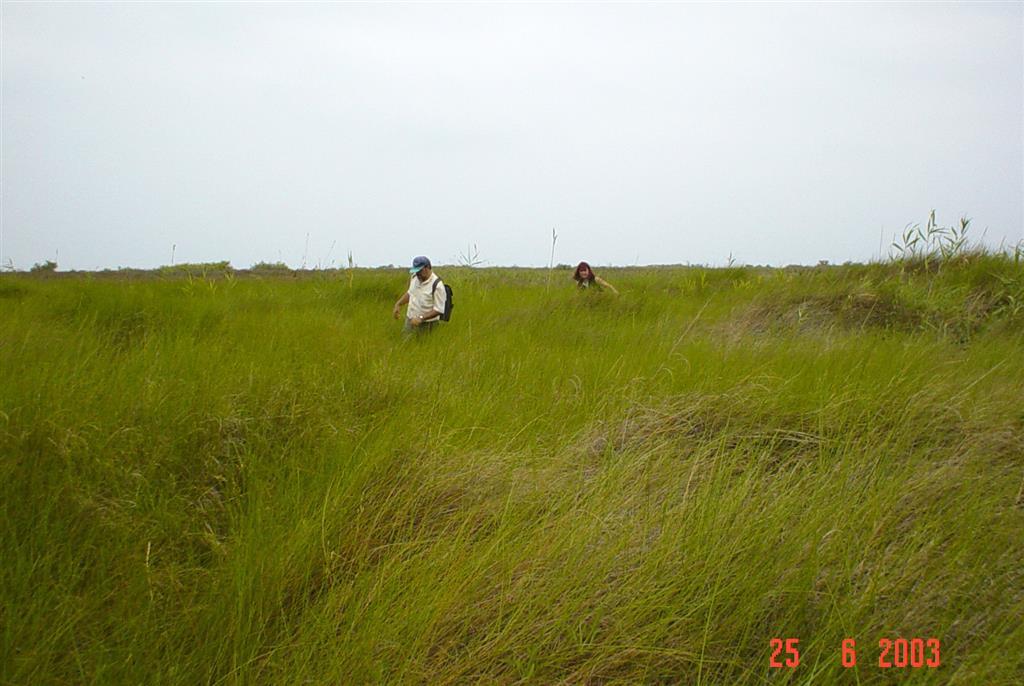 Llanura deltaica con densa cobertera vegetal de juncales. Al fondo a la izda se aprecian algunos pequeños cuerpos dunares aislados, correspondientes a antiguas dunas móviles hoy fijadas por vegetación. Isla de San Antonio (zona de Reserva Integral).