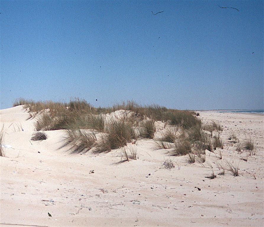 Dunas costeras: primer cordón dunar