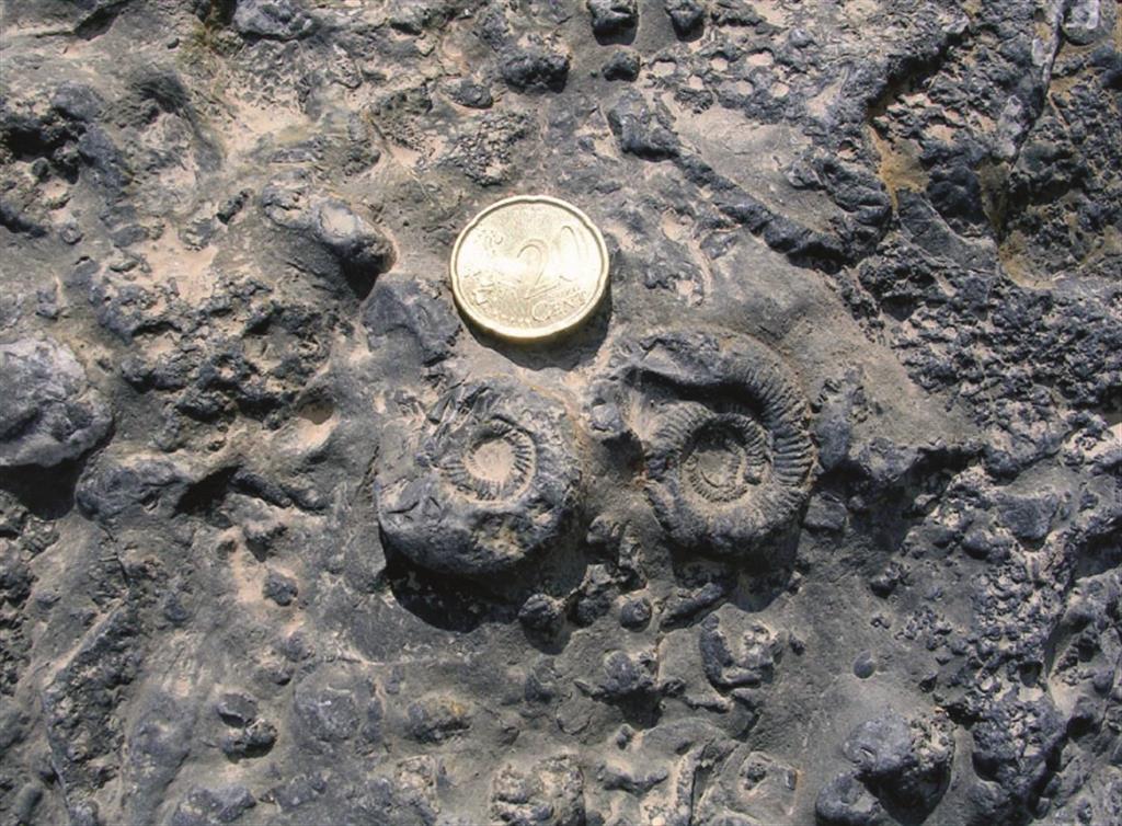 Detalle de los niveles de la Fm. Yátova (Oxfordiense) con abundantes fósiles de espongiarios, amonites, crinoides, y otros grupos. Rambla de La Paridera (Foto G. Meléndez)