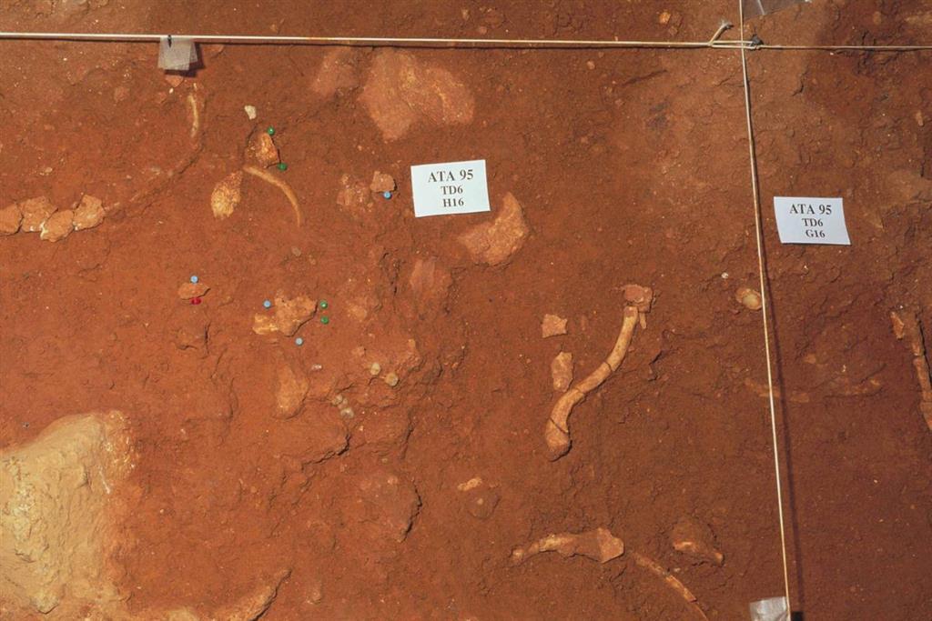 Detalle del descubrimiento de restos humanos en el nivel TD-6, en el yacimiento Gran Dolina en la trinchera del ferrocarril de la Sierra de Atapuerca (foto Equipo Investigador de Atapuerca)