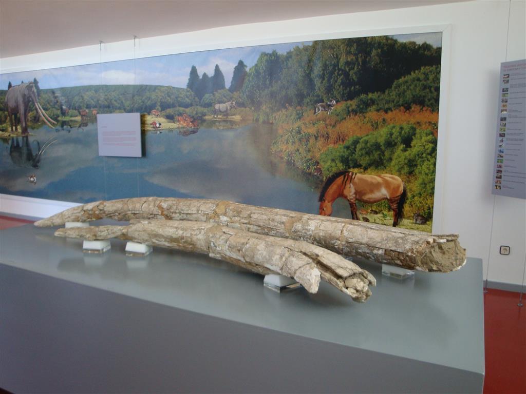 Interior del museo de Ambrona. Defensas fósiles de Palaeoloxodon antiquus del Pleistoceno medio (400.000 – 350.000 años). Yacimiento paleontológico de Ambrona.