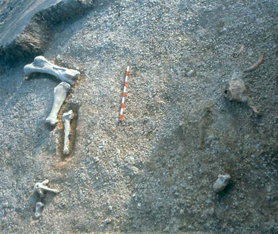 Concentración ósea aparecida en el yacimiento de Ambrona durante las excavaciones recientes de M. Santonja y A. Pérez-González (foto Manuel Santonja)