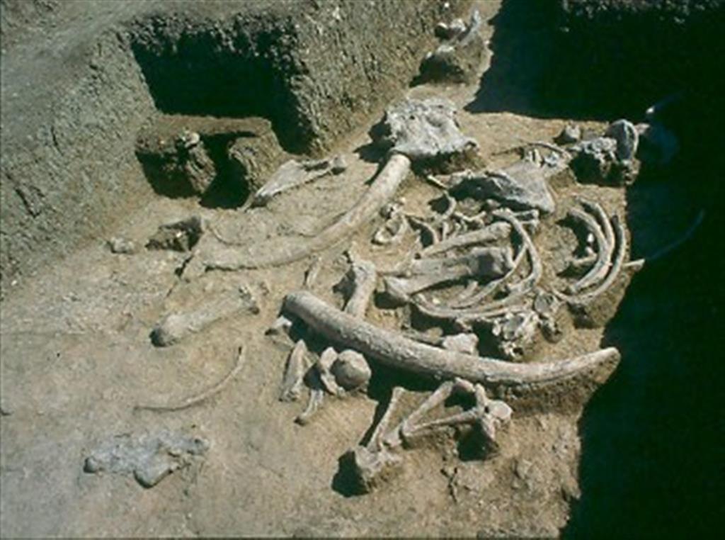 Restos óseos de elefante aparecidos en el yacimiento de Ambrona durante las excavaciones recientes de M. Santonja y A. Pérez-González (foto Manuel Santonja)