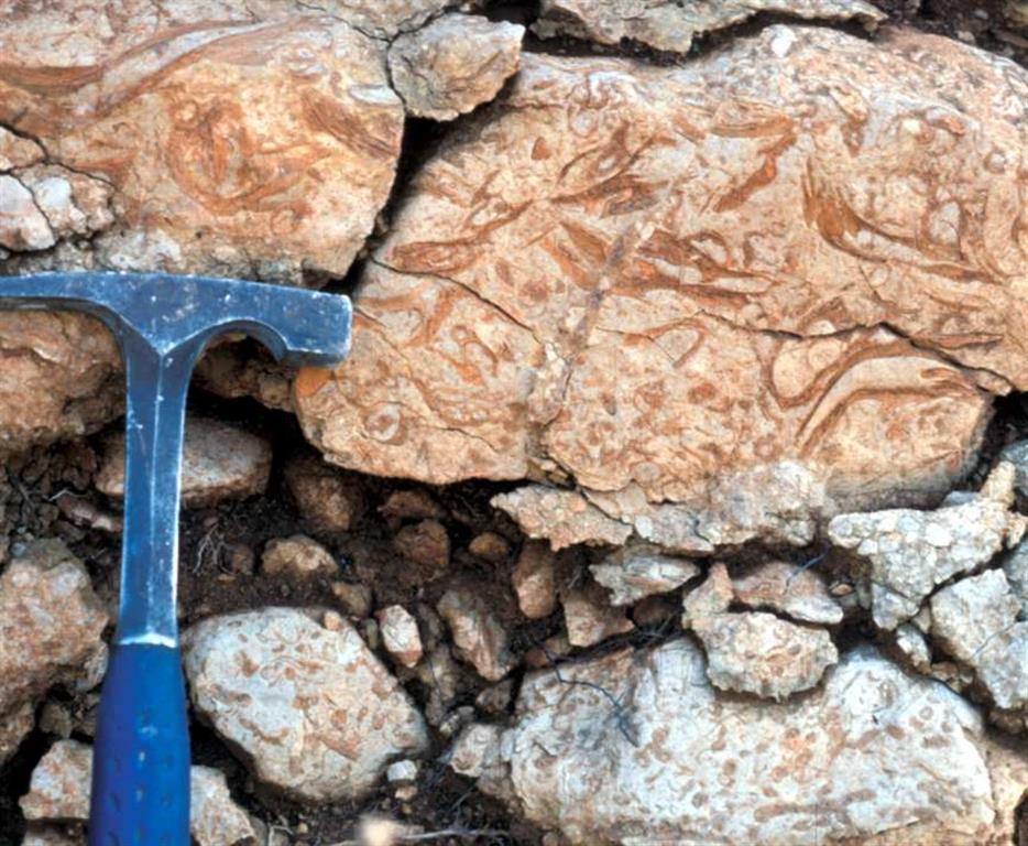 F-PT002c-05: Otro aspecto de la caliza bioclástica con con corales, rudistas y ostréidos. Aptiense-Albiense inferior (Fm Llopis) de Casas de Seguilí (foto P.A. Ruiz Ortiz).