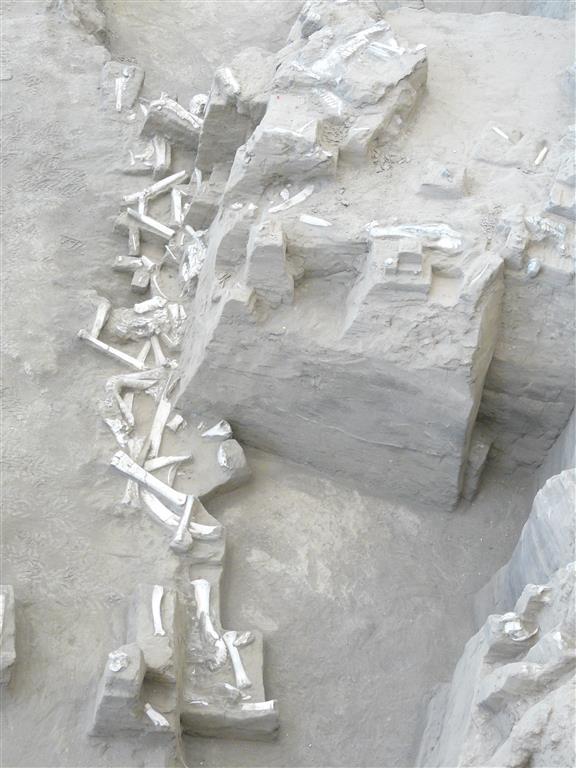 Restos fósiles insitu, aparecidos durante el acondicionamiento técnico de 2014