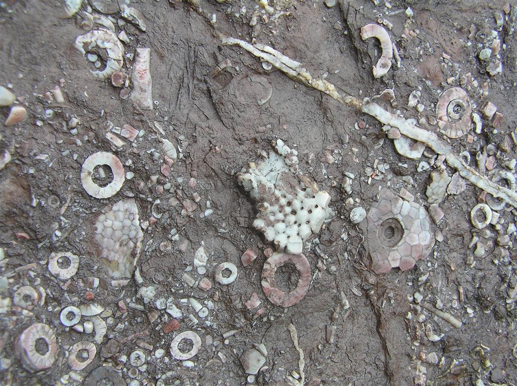 Niveles de la Unidad de margas rojas y verdes (C-CA003-01) en la que se ven restos muy abundantes de Trybliocrinus flatheanus (cálices y artejos de los tallos), el único crinoideo que aguanta una alta turbidez, continua y por encima del 40% de lutitas en muestra